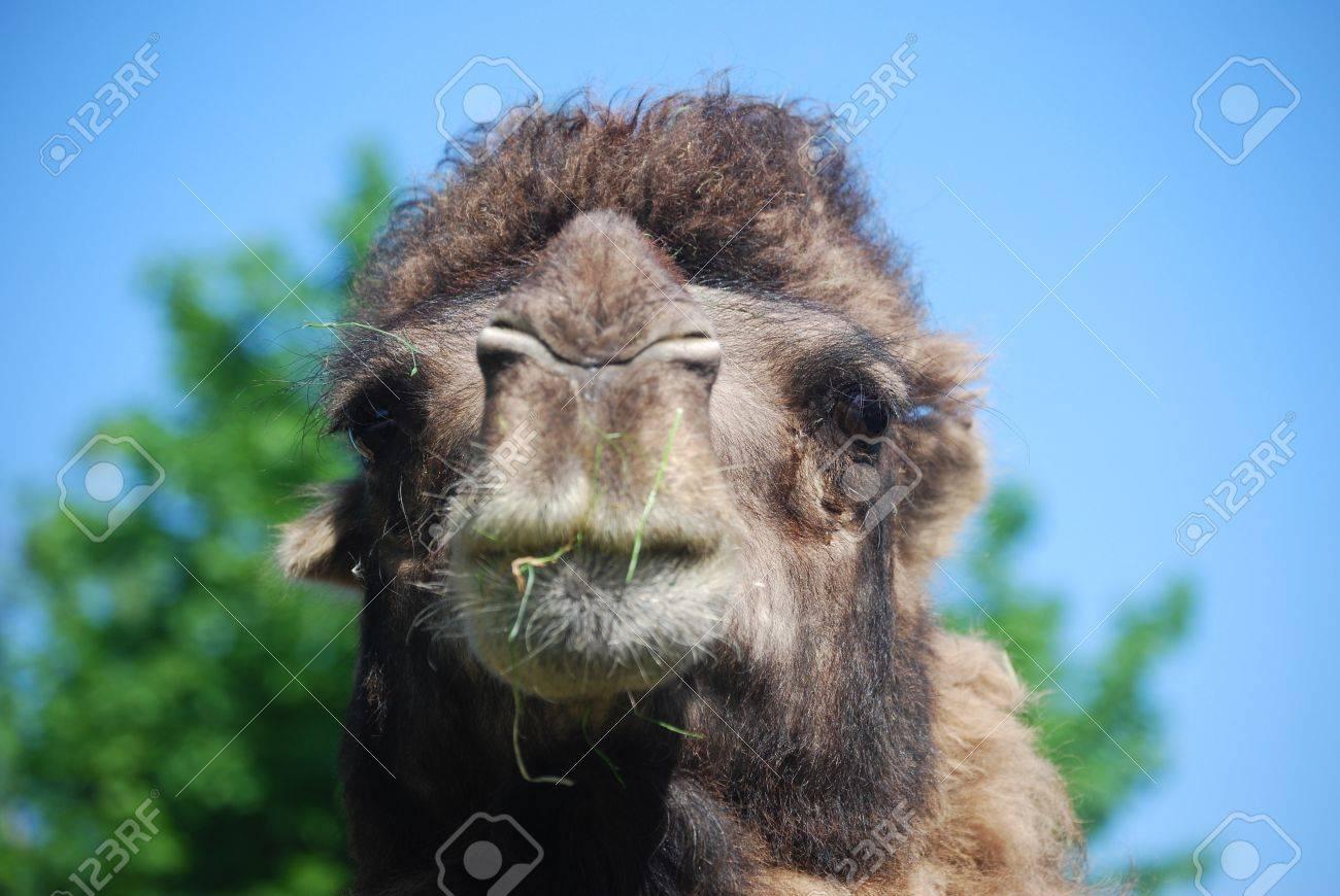camel Stock Photo - 16313492