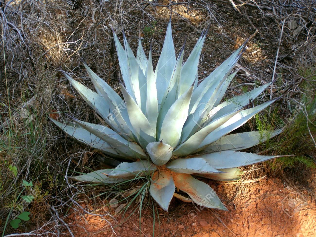 Blue Agave Plants In Desert Around Sedona Arizona Stock Photo