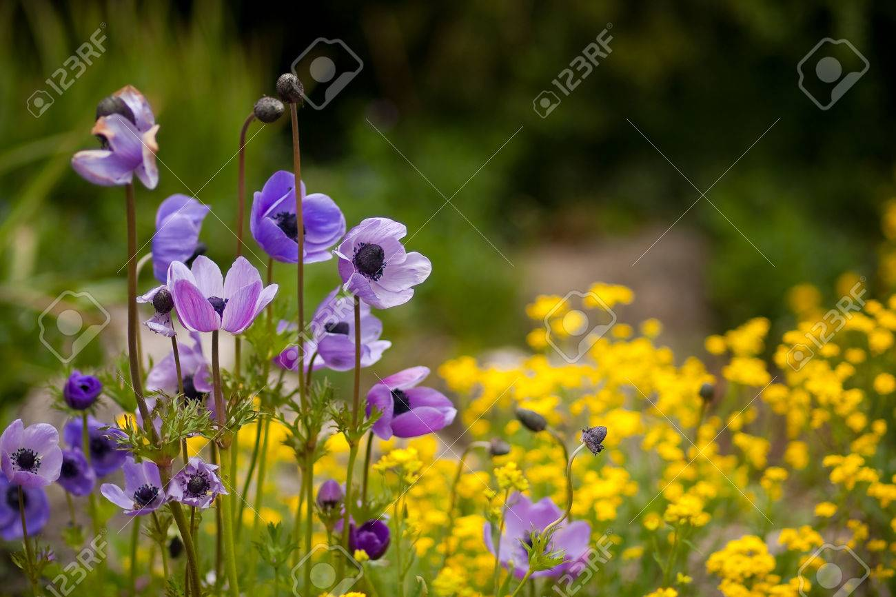 Wild purple and yellow flowers light and shiny photo royalty free stok fotoraf wild purple and yellow flowers light and shiny photo mightylinksfo