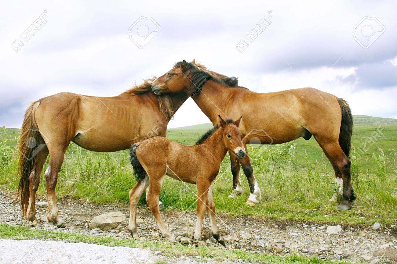 Horses Family In The Carpathian Mountains Stock Photo Picture And Royalty Free Image Image 5243492