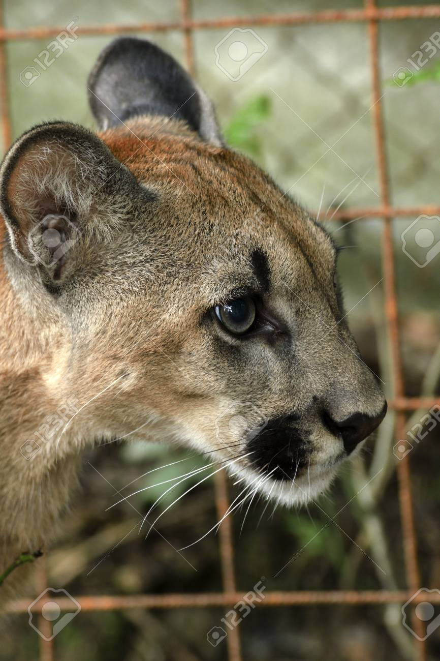 And cougar young Cougar, or