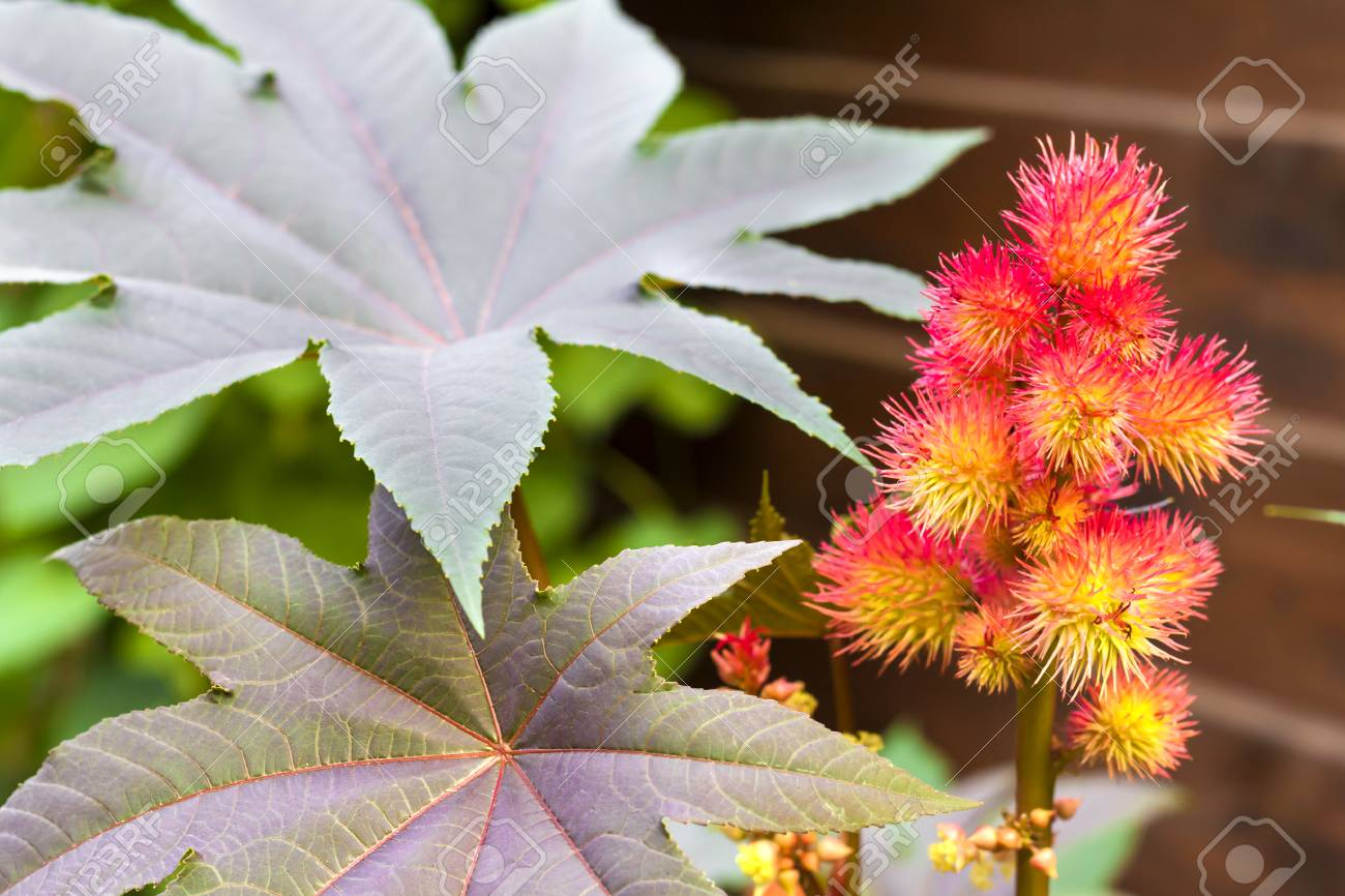 Castor Oil Plant Ricinus Communis Closeup Stock Photo Picture And Royalty Free Image Image 116477356