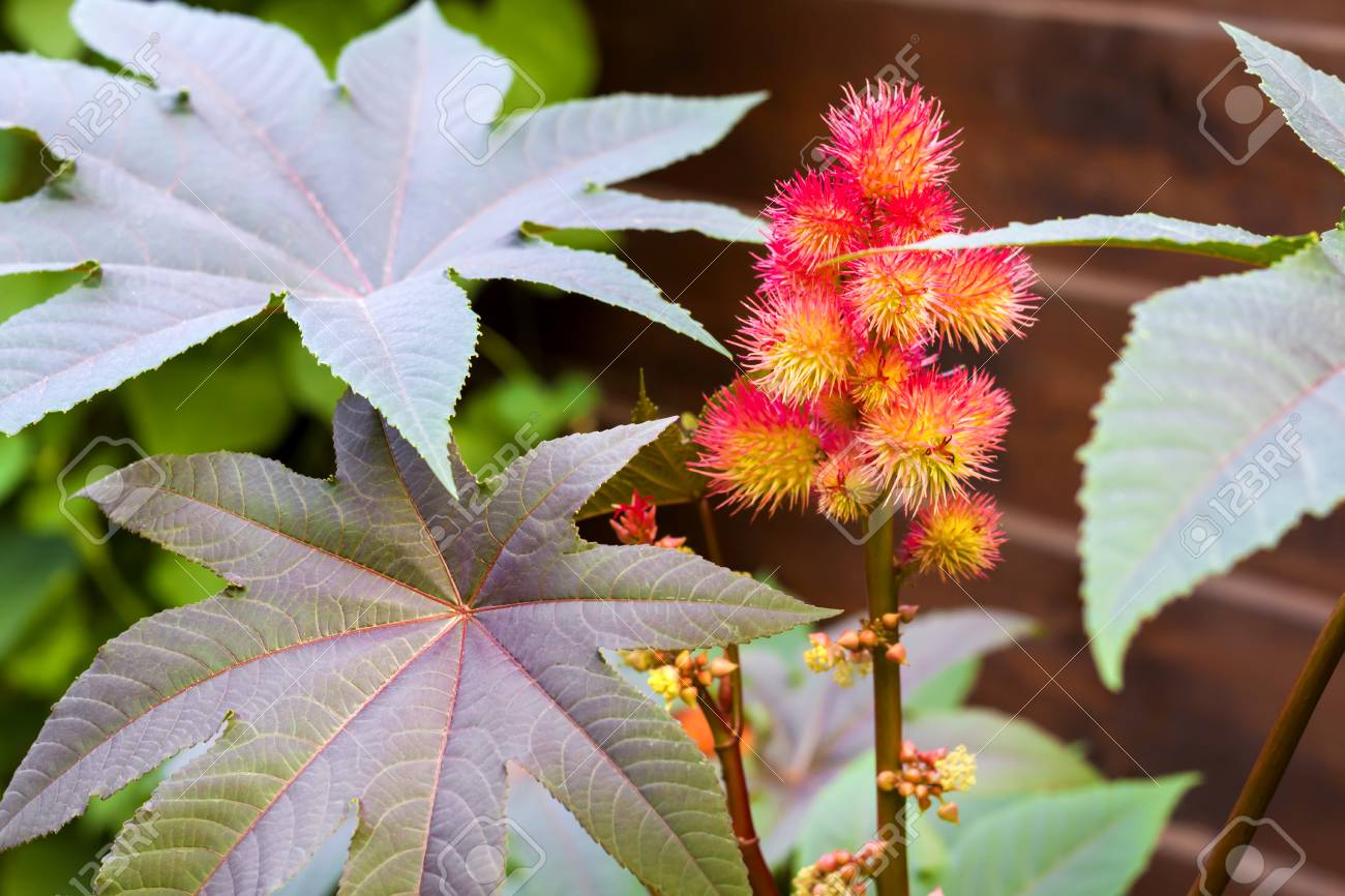 Castor Oil Plant Ricinus Communis Closeup Stock Photo Picture And Royalty Free Image Image 116477358