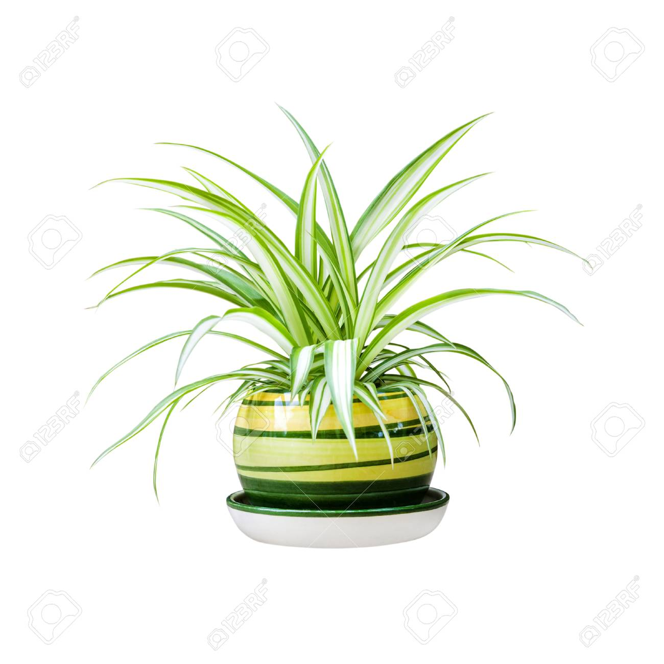 Chlorophytum comosum (also known spider plant, airplane plant, St. Bernard's lily, spider ivy, ribbon plant, and hen and chickens) in a pot isolated on white background with clipping path - 120749425