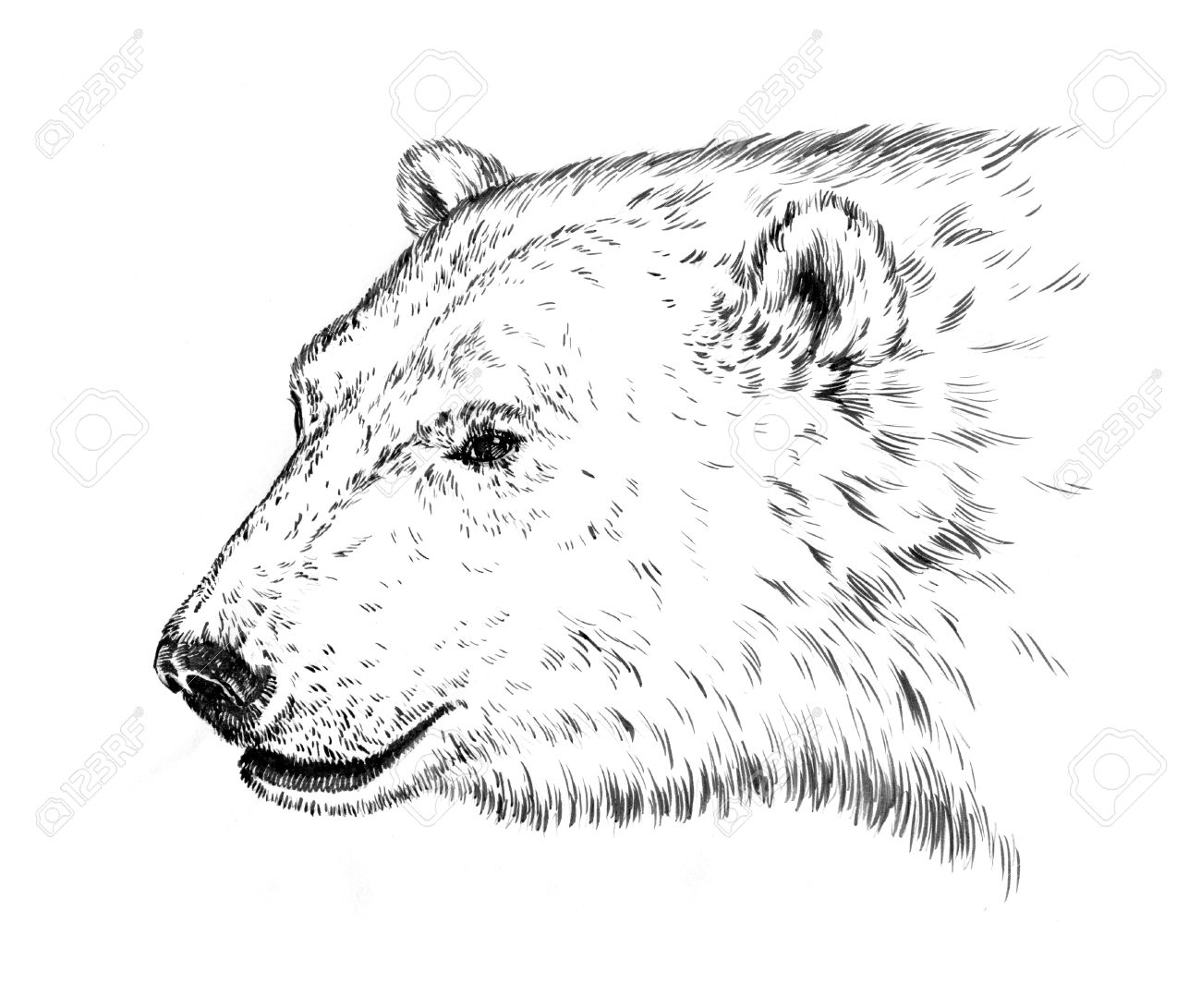 black and white engrave ink draw isolated polar bear stock photo