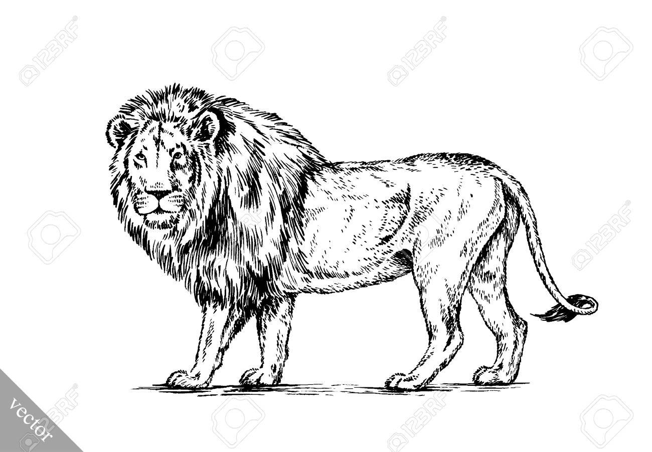 Black and white brush painting ink draw vector isolated lion illustration stock vector 49814971