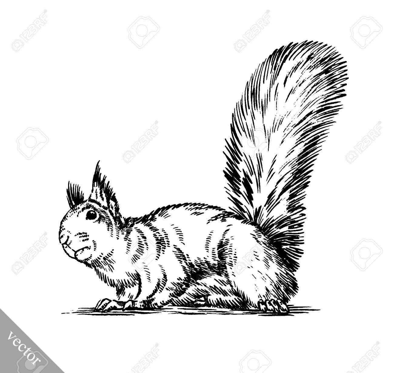 Schwarz Weiß Gravieren Tinte Isoliert Eichhörnchen Abbildung