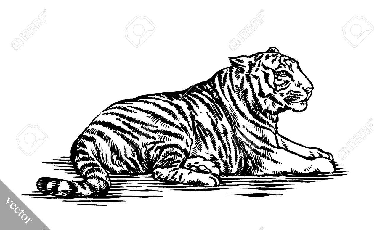 black and white engrave ink draw tiger vector illustration royalty
