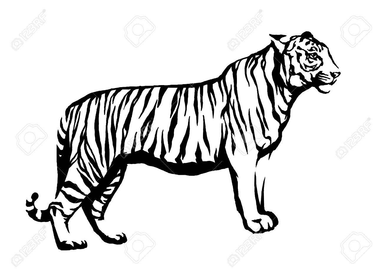 Blanco Y Negro Grabar Tinta Dibujar Tigre Ilustración