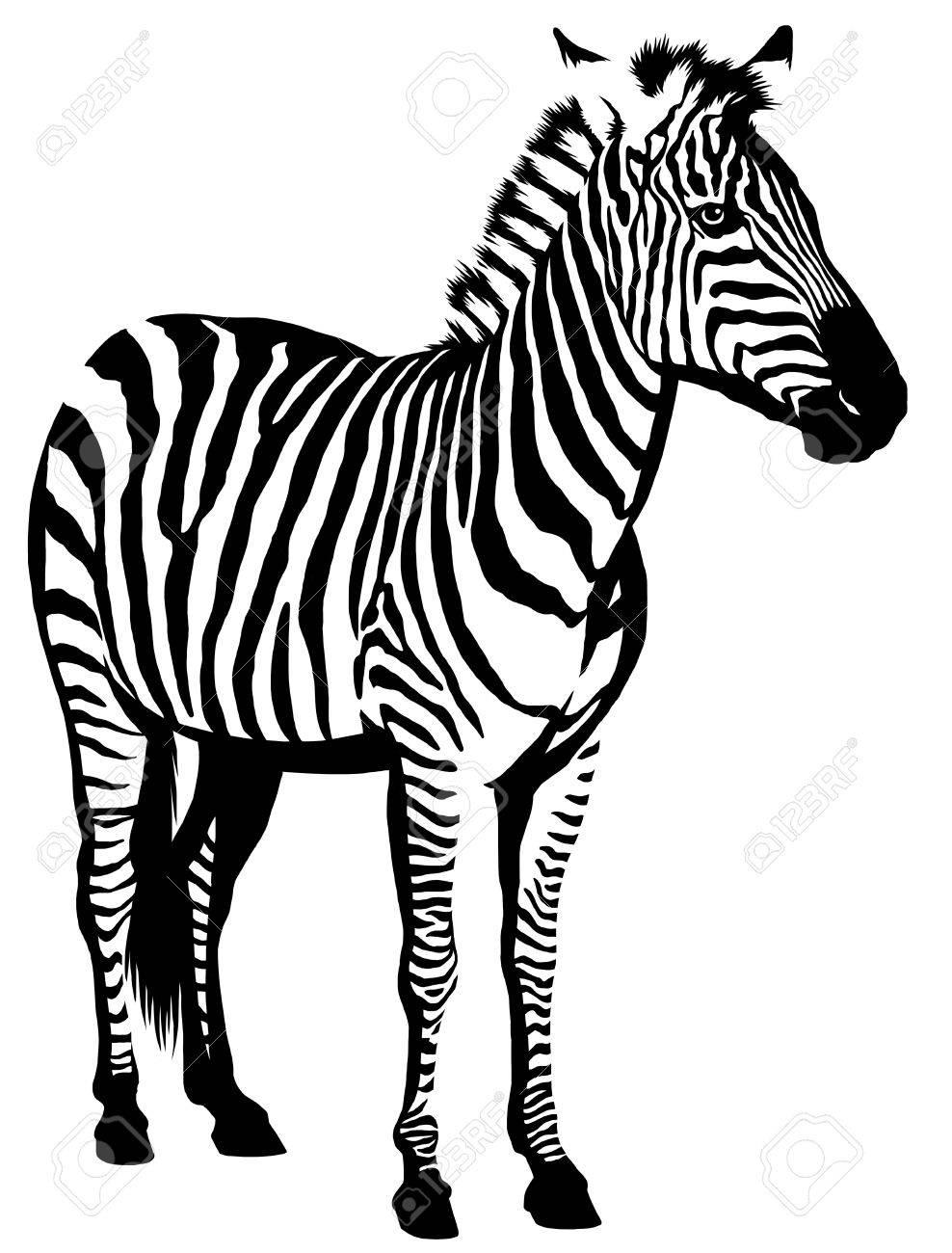Black And White Linear Paint Draw Zebra Illustration Stock Photo