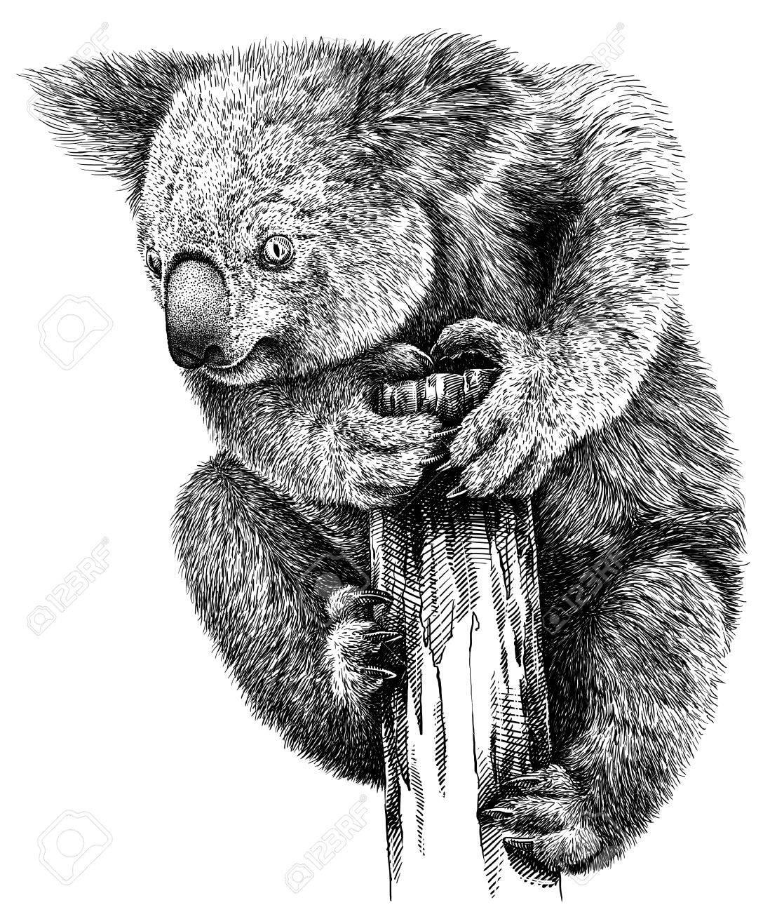Banque dimages noir et blanc gravé isolé koala illustration