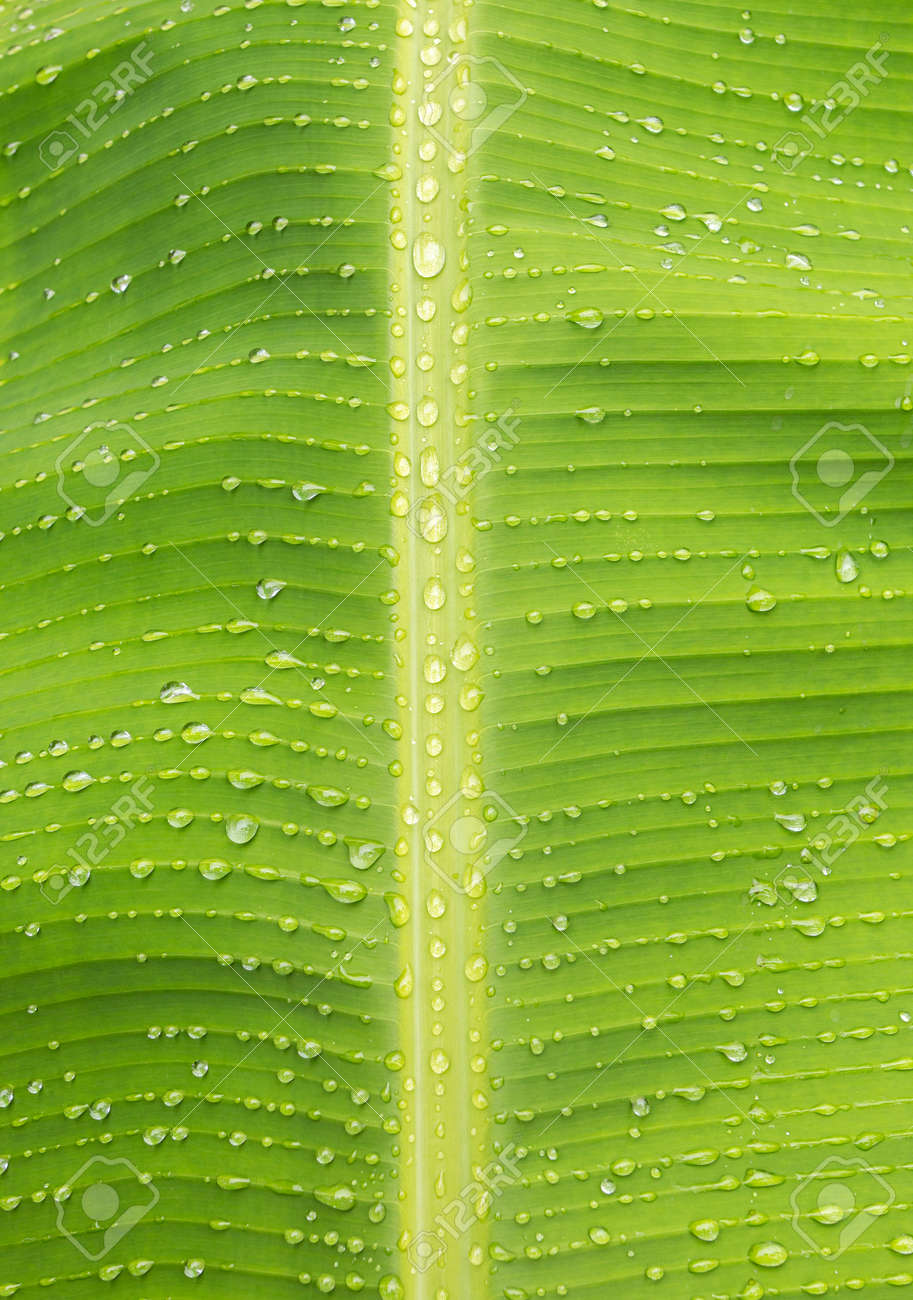 Water droplets on green banana leaves Background and textures for advertising and design. - 157977688
