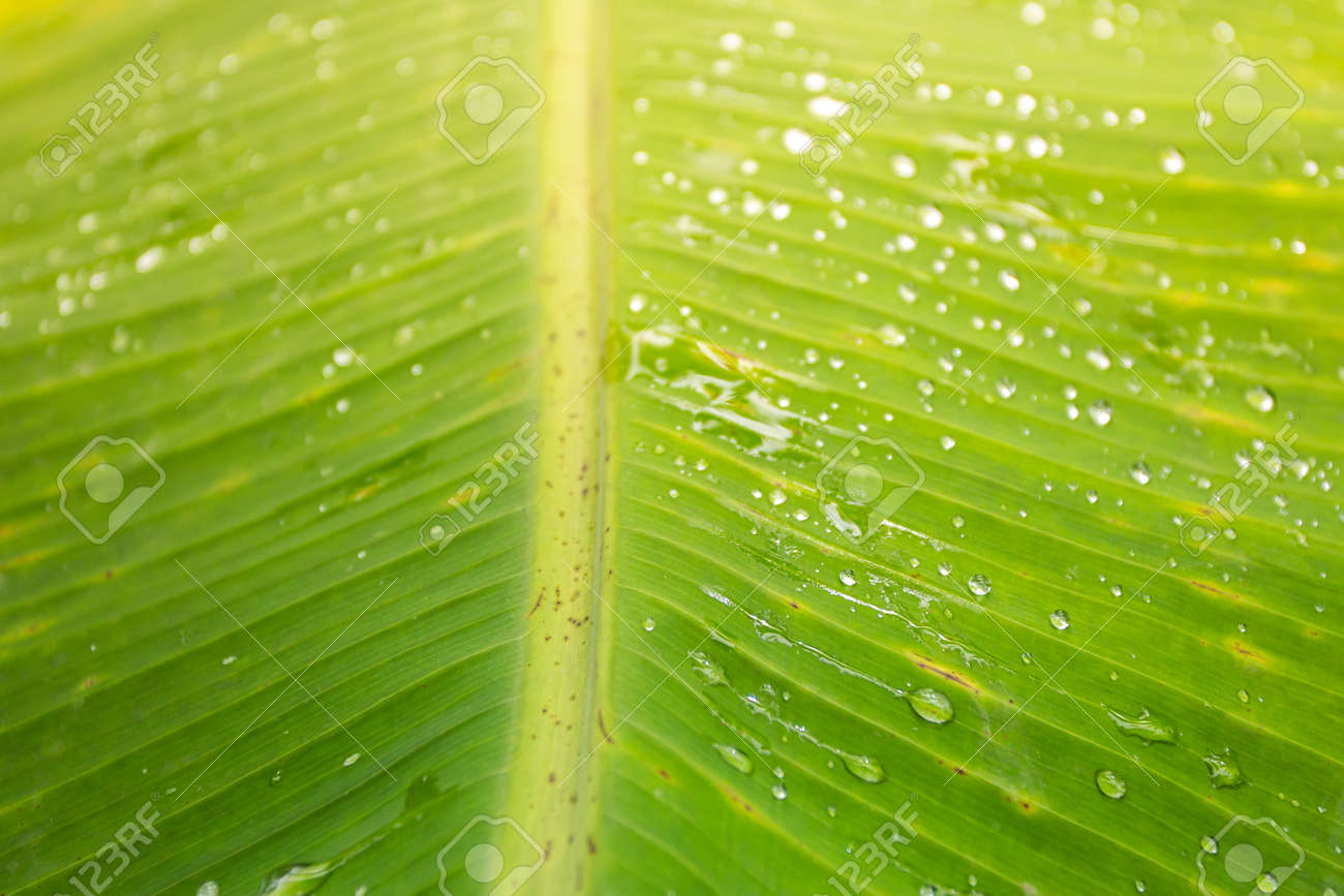 Water droplets on green banana leaves Background and textures for advertising and design. - 157978051