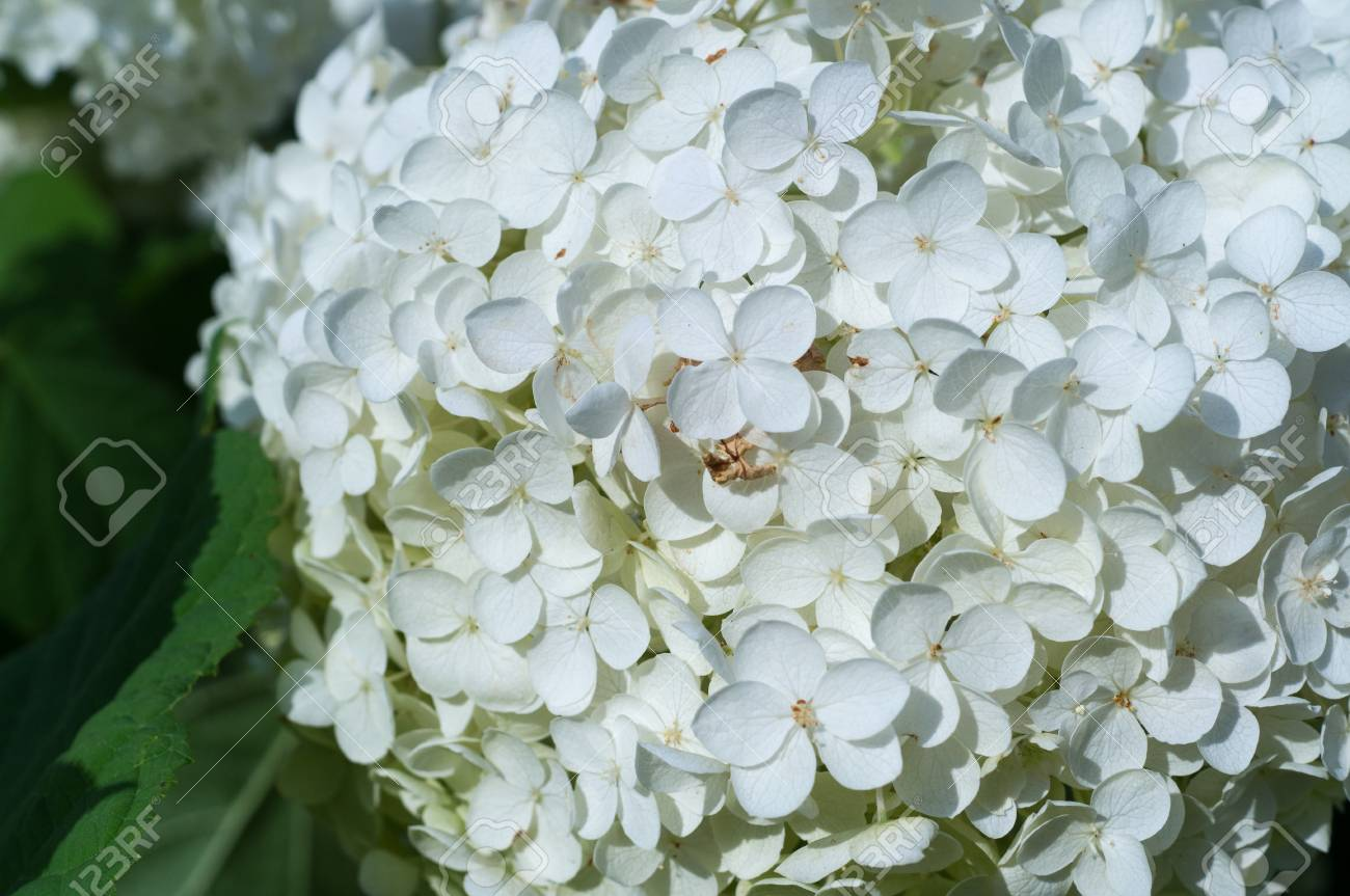 White Hydrangea Flowers At Summer Stock Photo Picture And Royalty