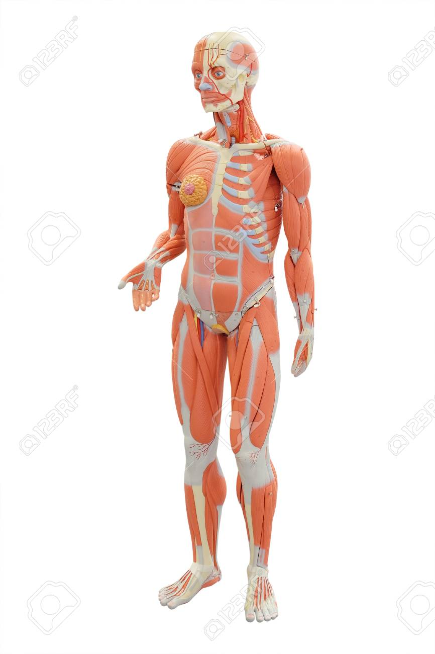 Human Anatomy Medical Mannequin Isolated Under The White Background