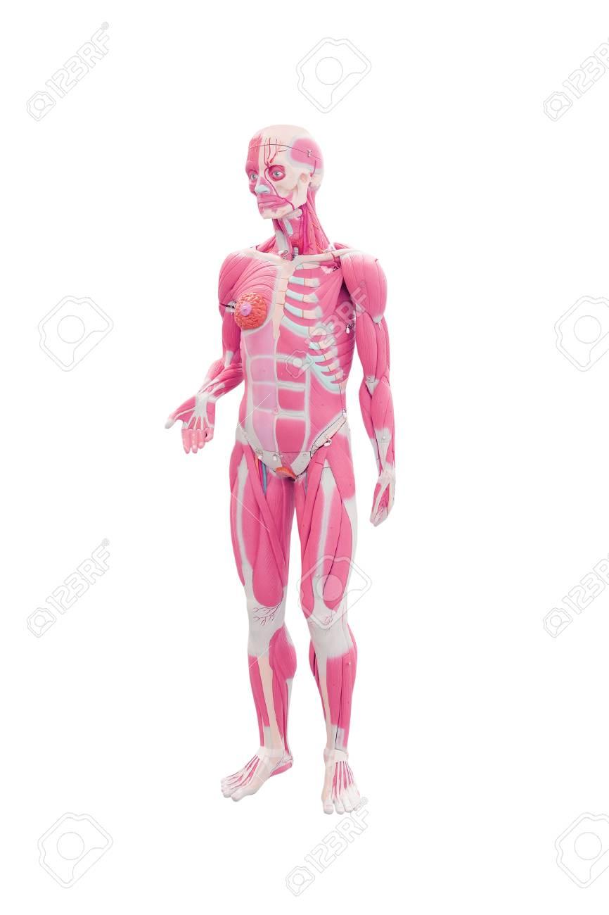 Anatomie Des Menschen. Medizinische Mannequin Unter Dem Weißen ...