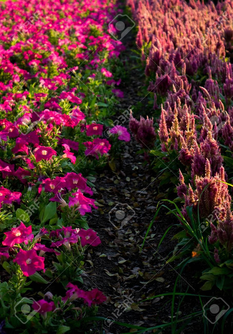 Lumière de la jante de la fleur pourpre sur l\'ombre dans le jardin