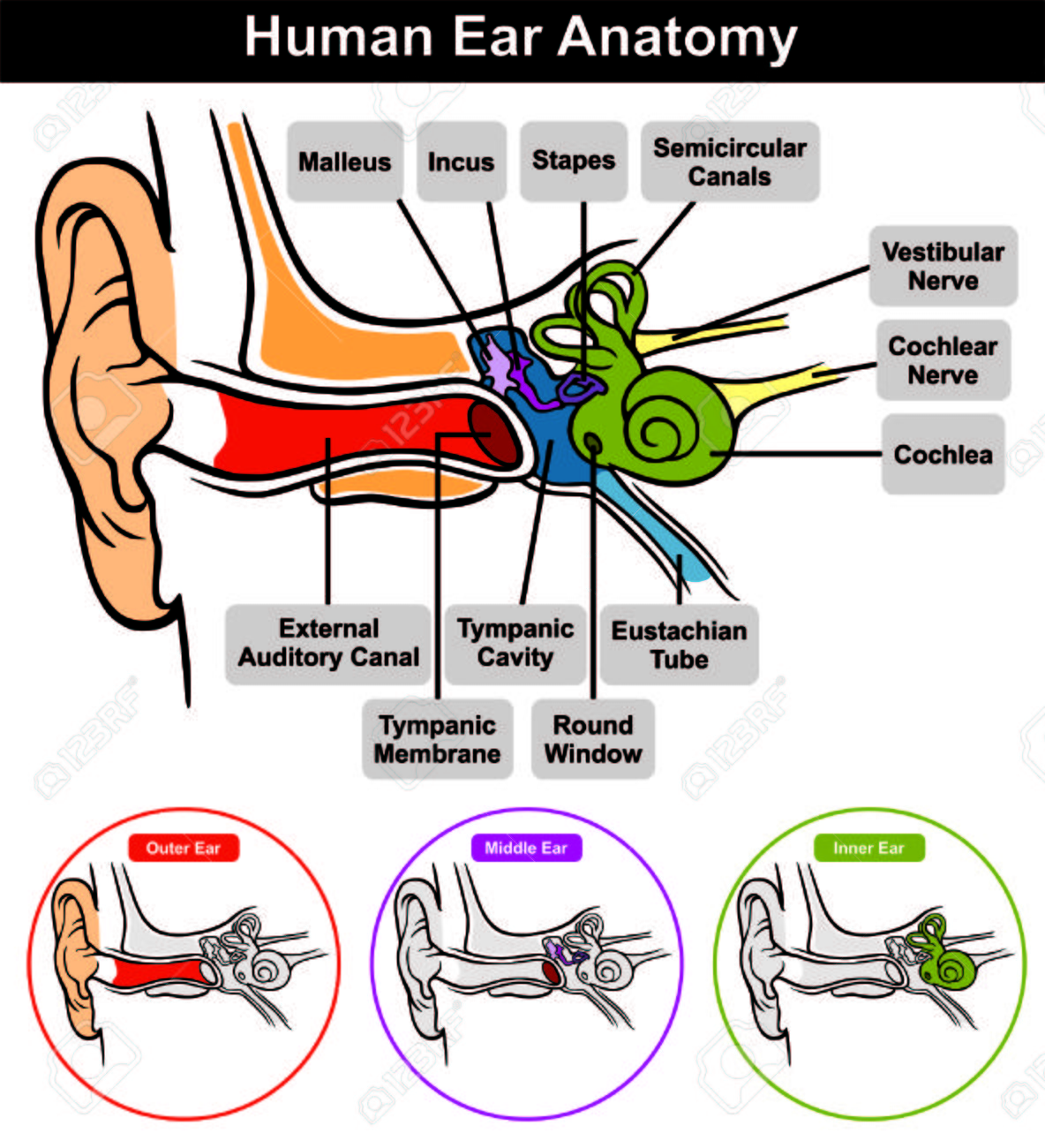 Vector Human Ear Anatomy With Classification Outer Middle Inner ...