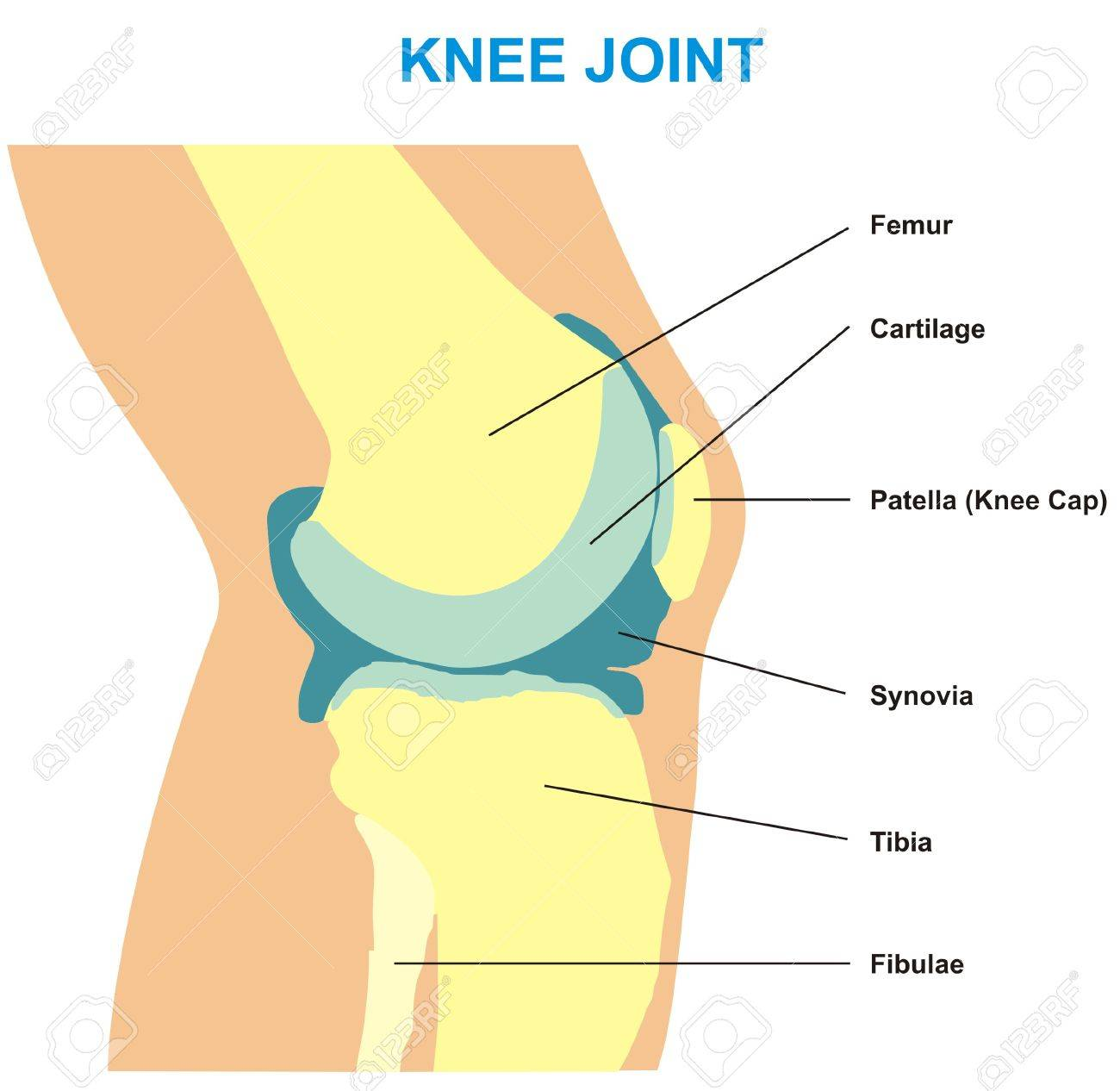 Vector Knee Joint Cross Section Showing The Major Parts Which