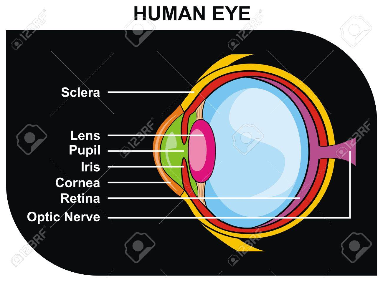 Vector Human Eye Cross Section Including Parts Sclera Lens Diagram Pupil Iris Cornea Retina Optic Nerve Helpful For Clinic And Education In School