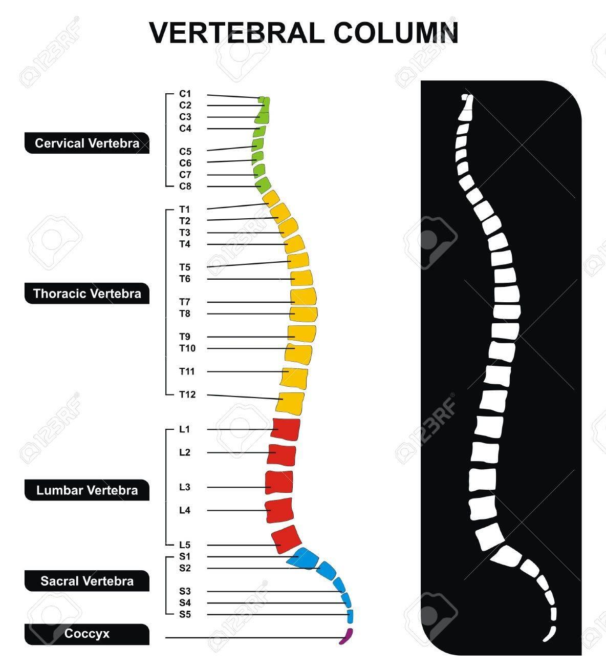 Vector Vertel Column Spine Diagram including Verte Groups.. on spine layout, spine joints, spine icon, spine numbering, spinal cord injury, pharyngeal arch, spine surgery, spine cartoon, spine too straight, spine fracture, spine graphic, skeletal pneumaticity, spine with nerves, spine segments, spine drawing, spine chart, spine with numbers, spine clipart, spine model, spine x-ray, spine l5-s1, spine anatomy, spine bones,