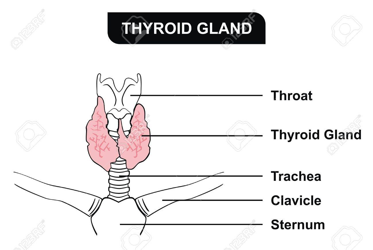 VECTOR Thyroid Gland Parts Included Throat Thyroid Gland Trachea ...