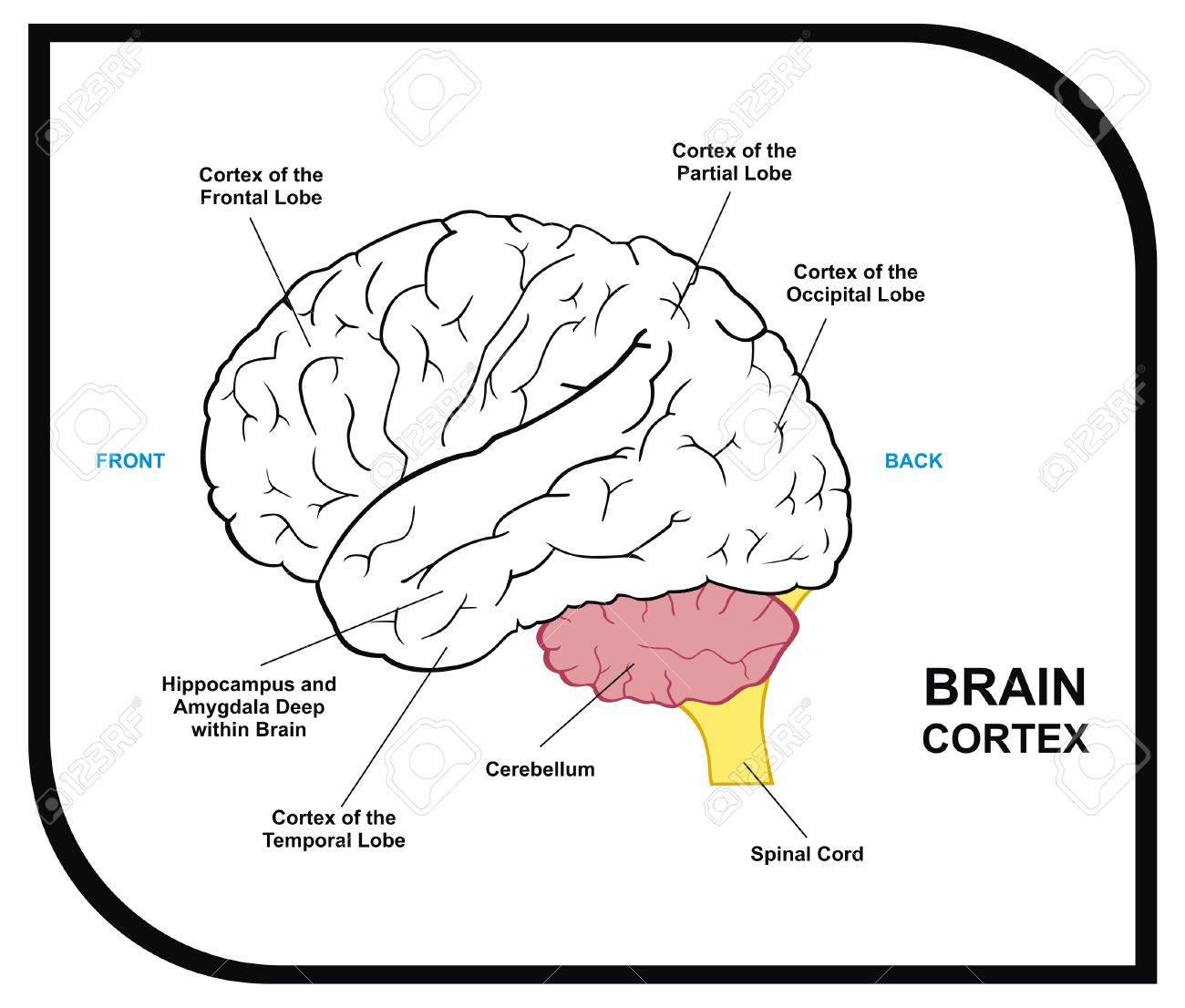 VECTOR Diagrama Del Cerebro Humano Incluyendo Corteza De Occipital ...