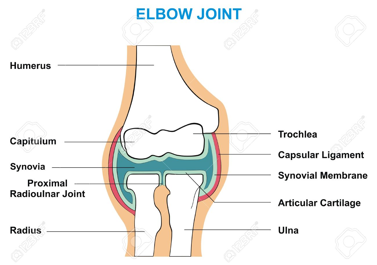 VECTOR - Elbow Joint Cross Section Showing The Major Parts Which ...
