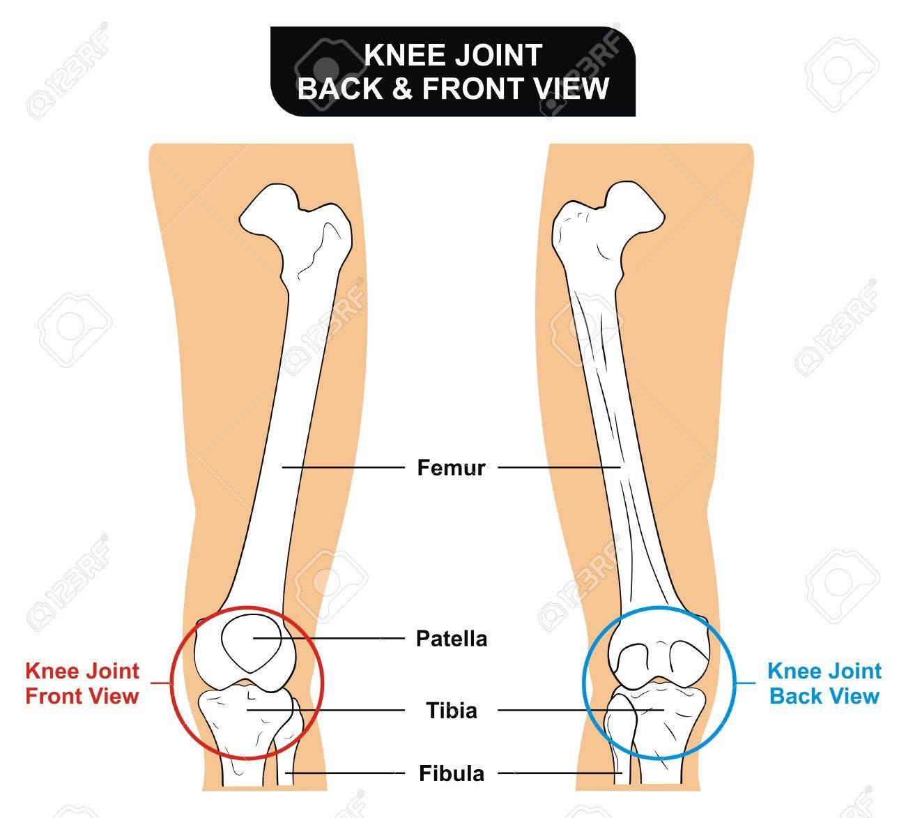 vector - knee joint front and back view bones femur tibia fibula