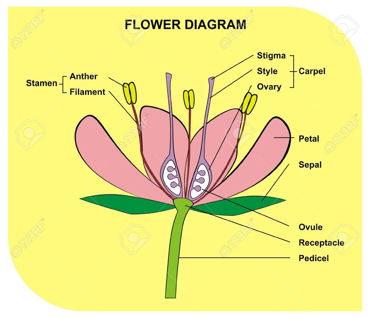 Großartig Sonnenblume Anatomie Diagramm Galerie - Anatomie Von ...
