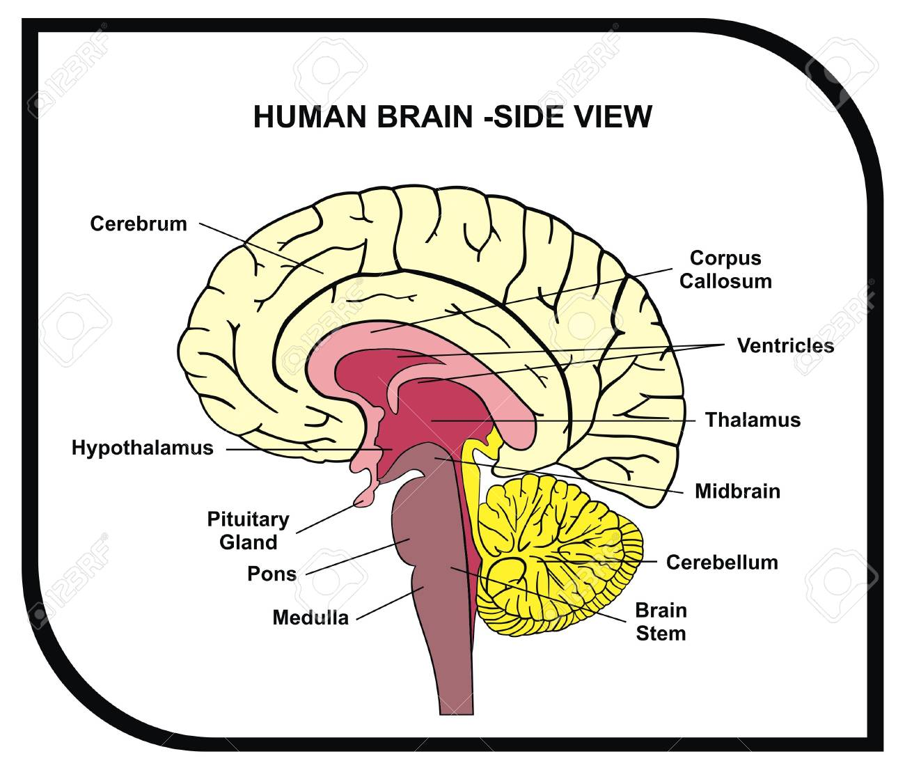 vector human brain diagram side view with parts ( cerebrum, Printable Diagram of the Brain