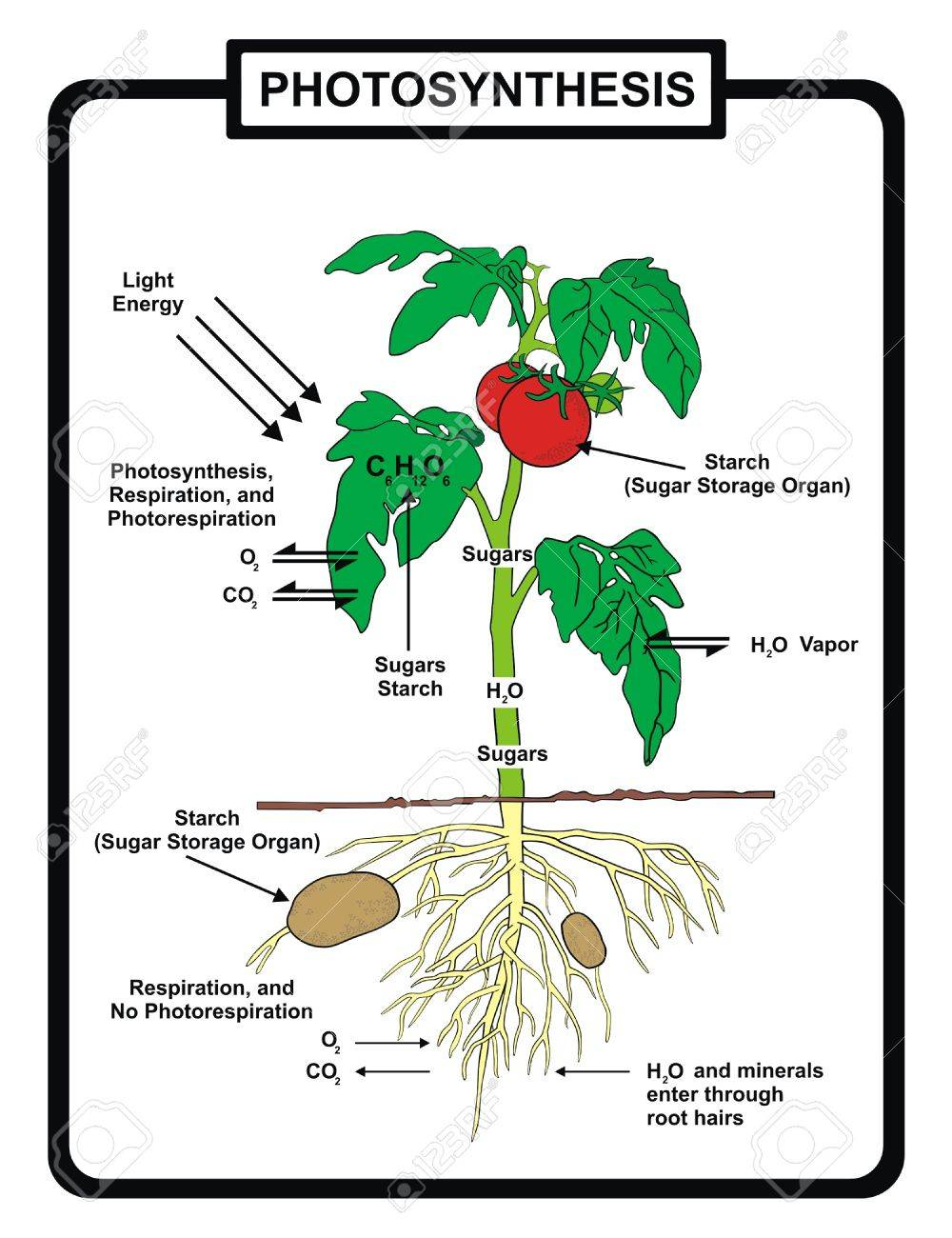 Vector process of photosynthesis royalty free cliparts vectors vector process of photosynthesis stock vector 71588667 pooptronica Choice Image