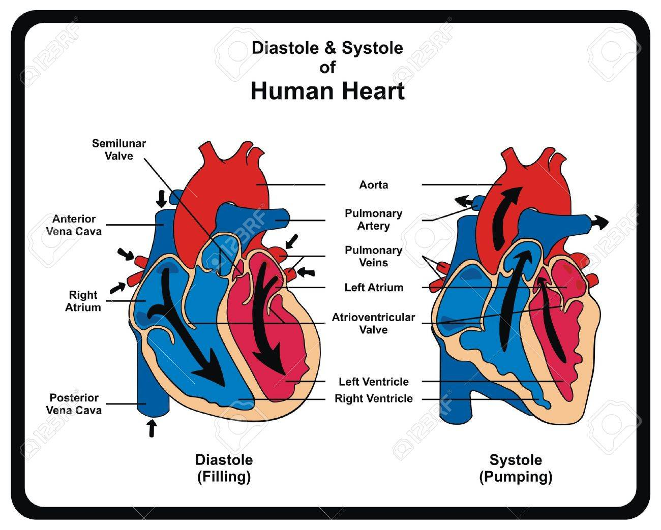Vector diastole systole filling pumping of human heart vector diastole systole filling pumping of human heart structure anatomy anatomical ccuart Images