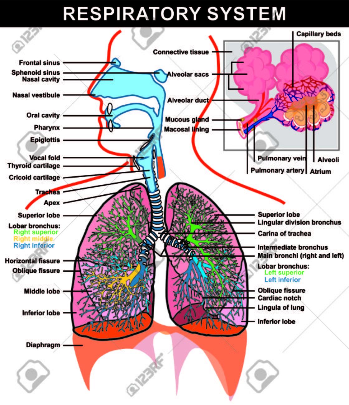 Vector - Sistema Respiratorio (detalles) Estructura Y Alvéolos ...