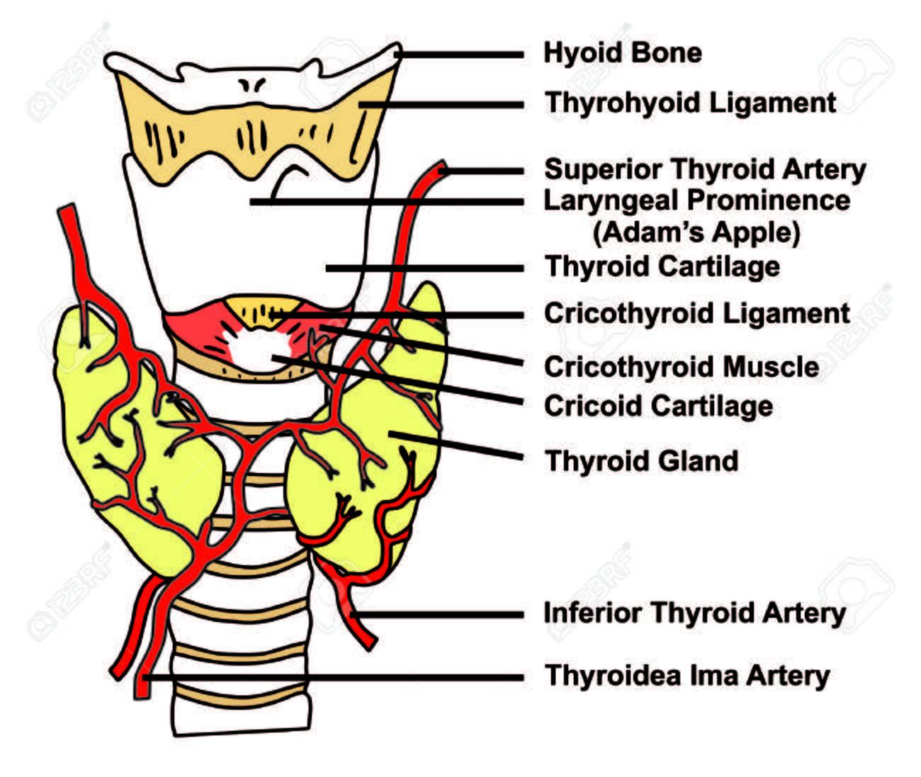 Schilddrüse Anatomische Struktur & Arterien Versorgung - Diagramm ...