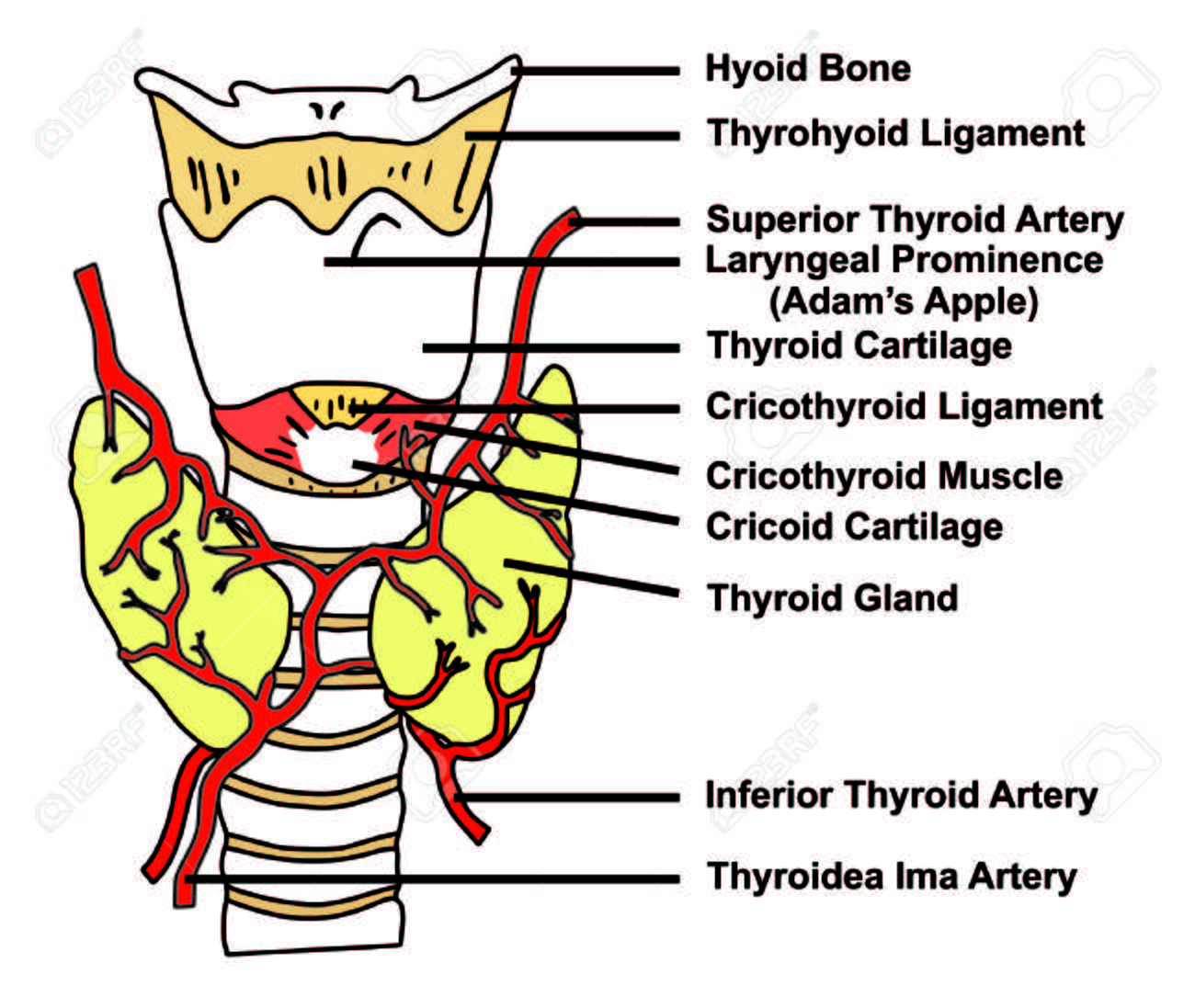 Thyroid Gland Anatomical Structure Arteries Supply Diagram