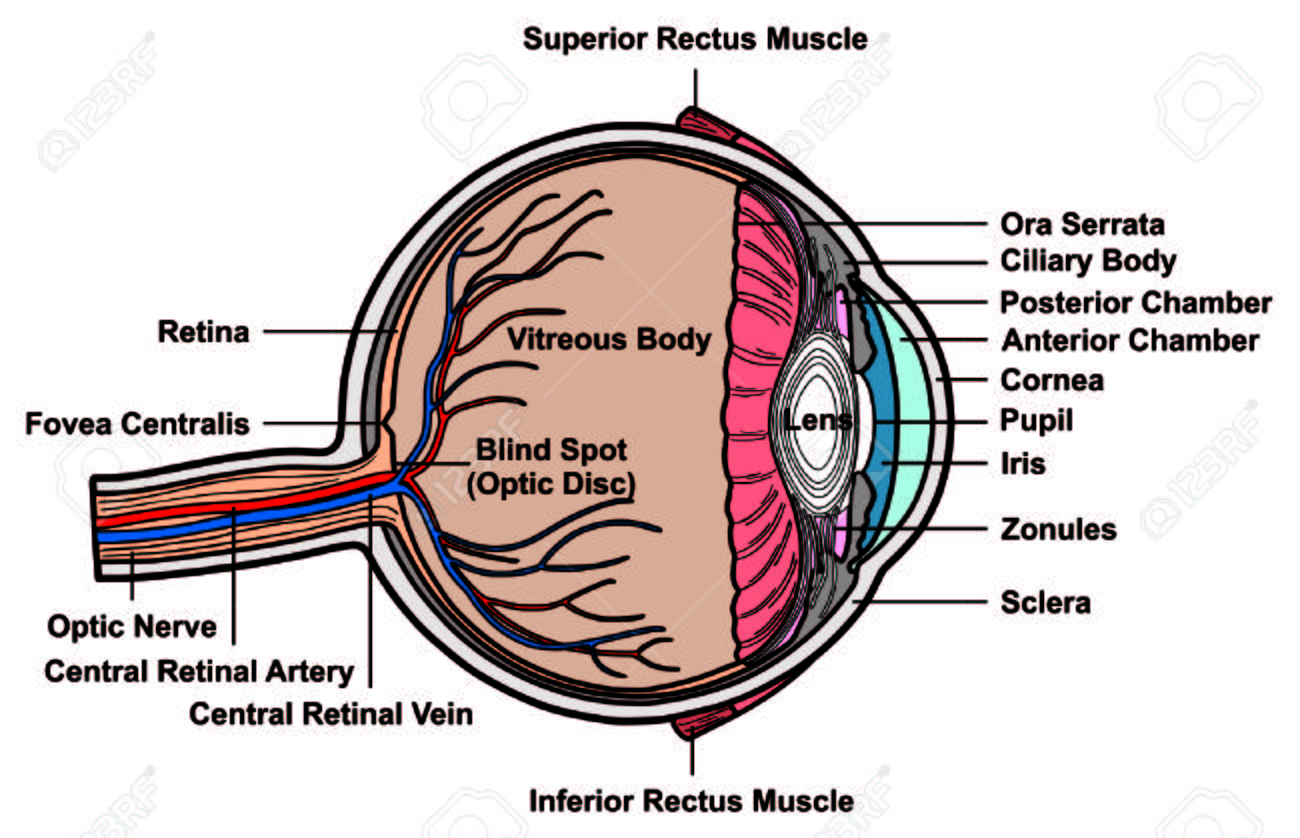 Human Eye Cross Section Anatomy With All Parts Anatomical Structure