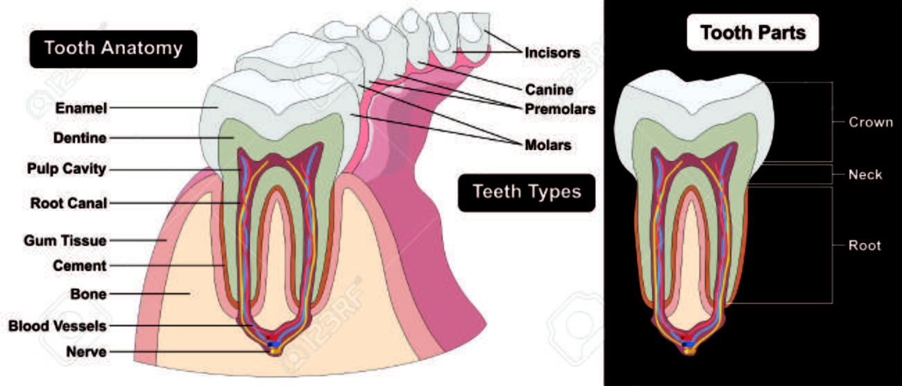 Human tooth cross section anatomy enamel dentine pulp cavity human tooth cross section anatomy enamel dentine pulp cavity gum tissue bone nerve blood vessels cement ccuart Choice Image