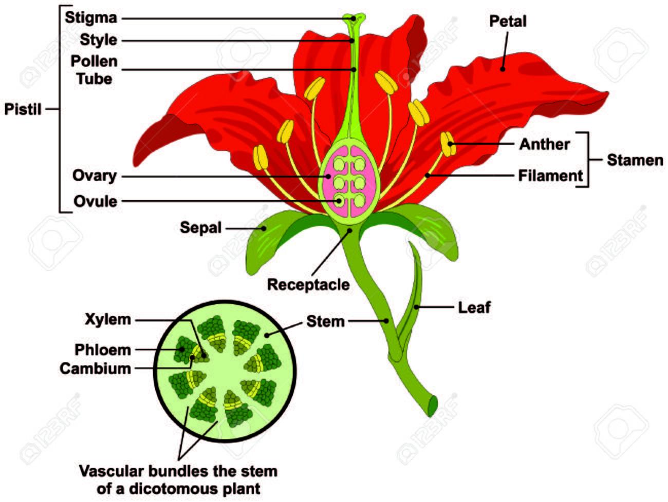 Partes De La Flor Diagrama Con La Sección Transversal Del Vástago ...