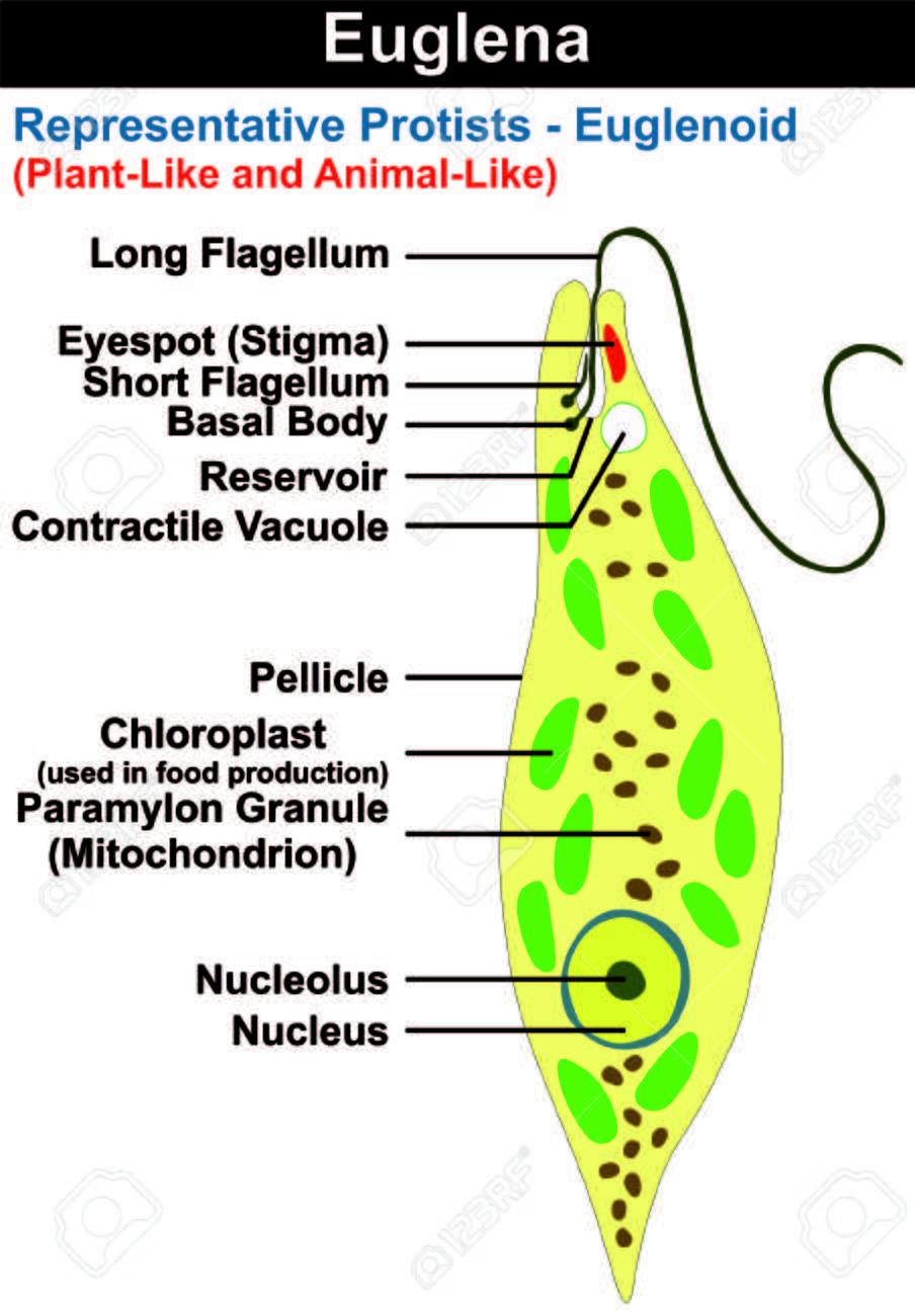 Euglena Querschnitt Diagramm Repräsentant Protisten Euglenoid ...
