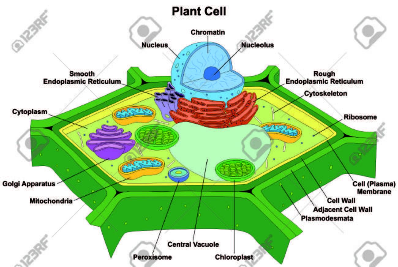 Anatomía De La Célula De La Planta Diagrama Estructura Con Todo El Núcleo De La Parte Lisa Del Citoplasma Del Retículo Endoplasmic áspero