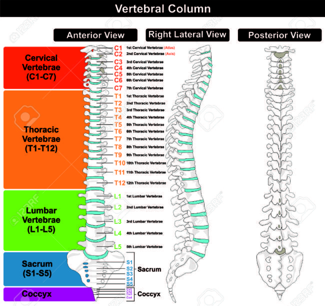 Vertebral Column Spine Structure Of Human Body Royalty Free Cliparts