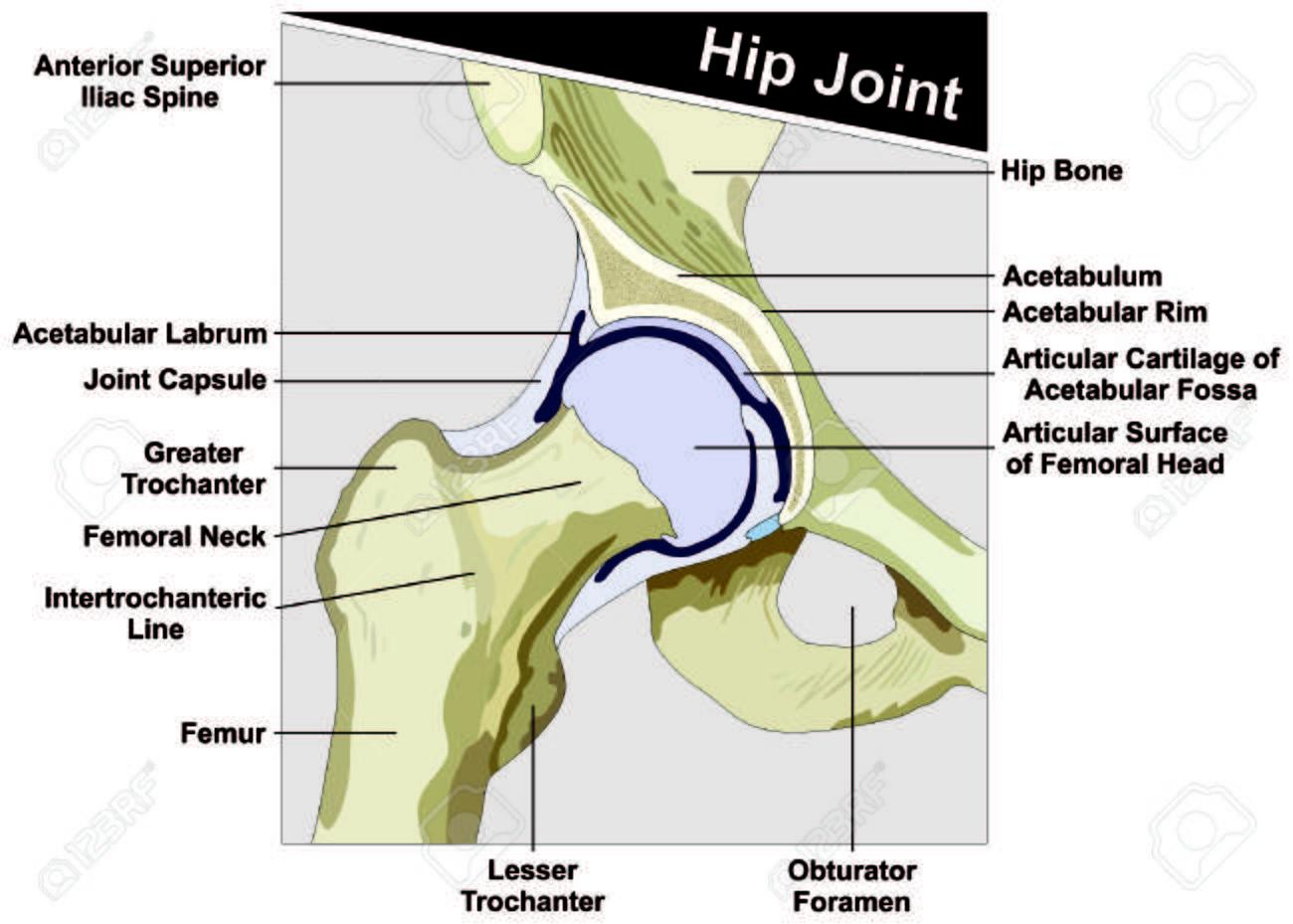 Hüftgelenk Anatomie Diagramm Anatomische Struktur Lizenzfrei ...
