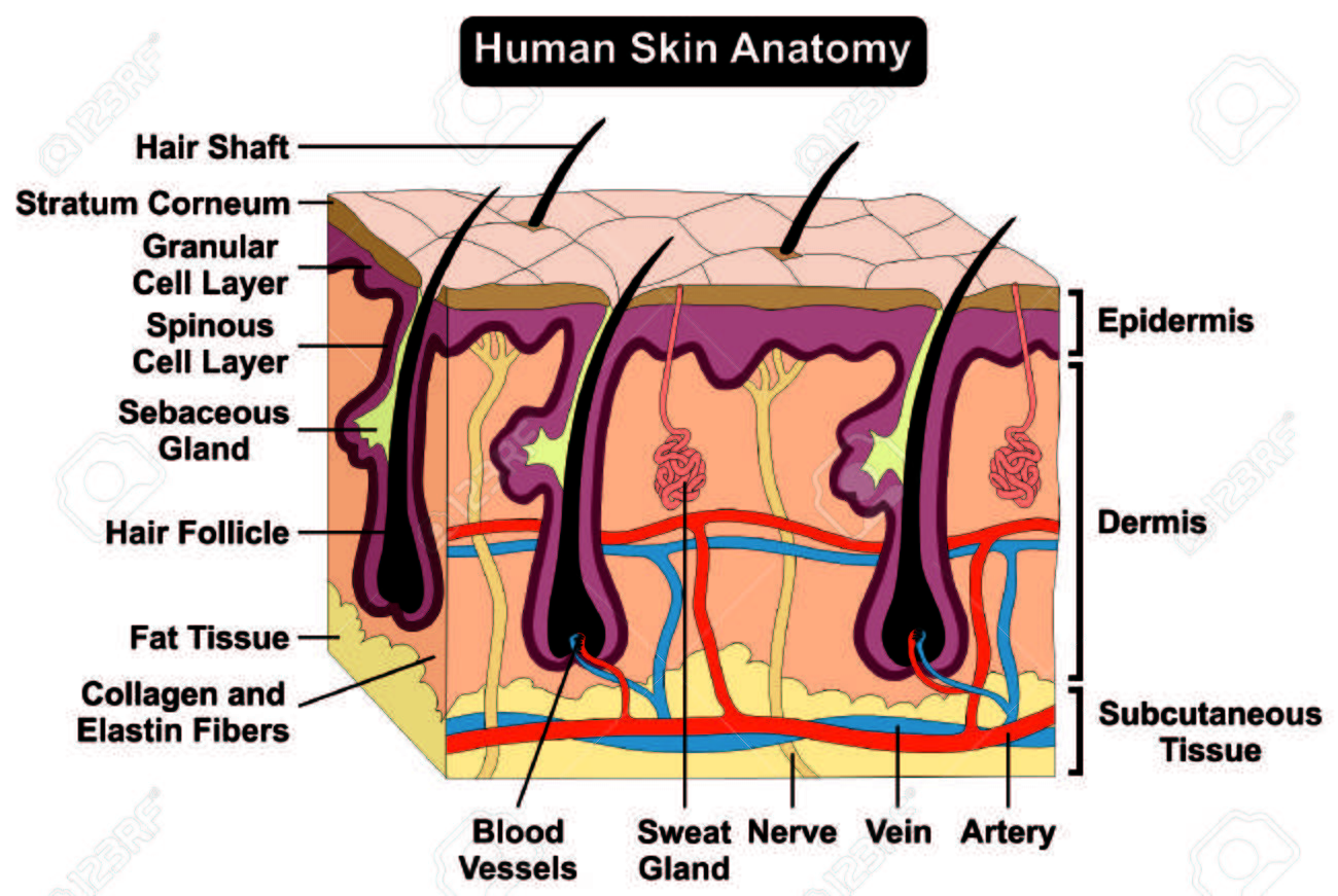 Skin medical diagram info wiring human body skin anatomy diagram infographic chart figure with rh 123rf com skin anatomy diagram quiz ccuart Choice Image