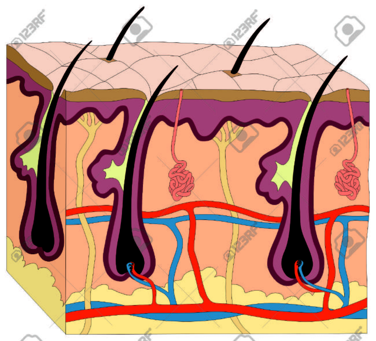 Skin Body Diagrama Anatomía Figura Gráfico Humano Con Todas Las ...