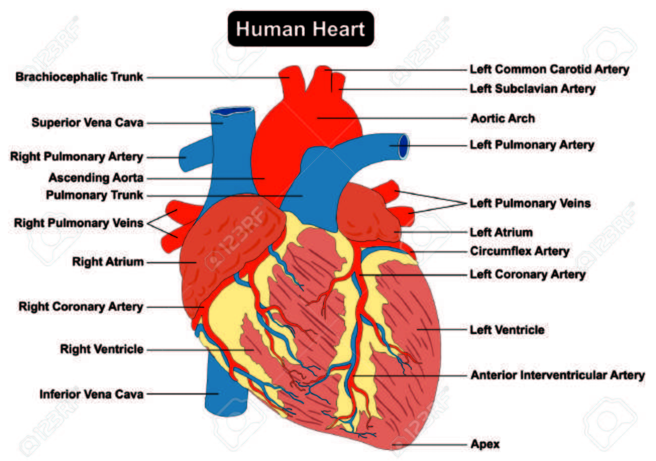 Human heart muscle structure anatomy infographic chart diagram human heart muscle structure anatomy infographic chart diagram with all parts stock vector 71810385 ccuart Gallery
