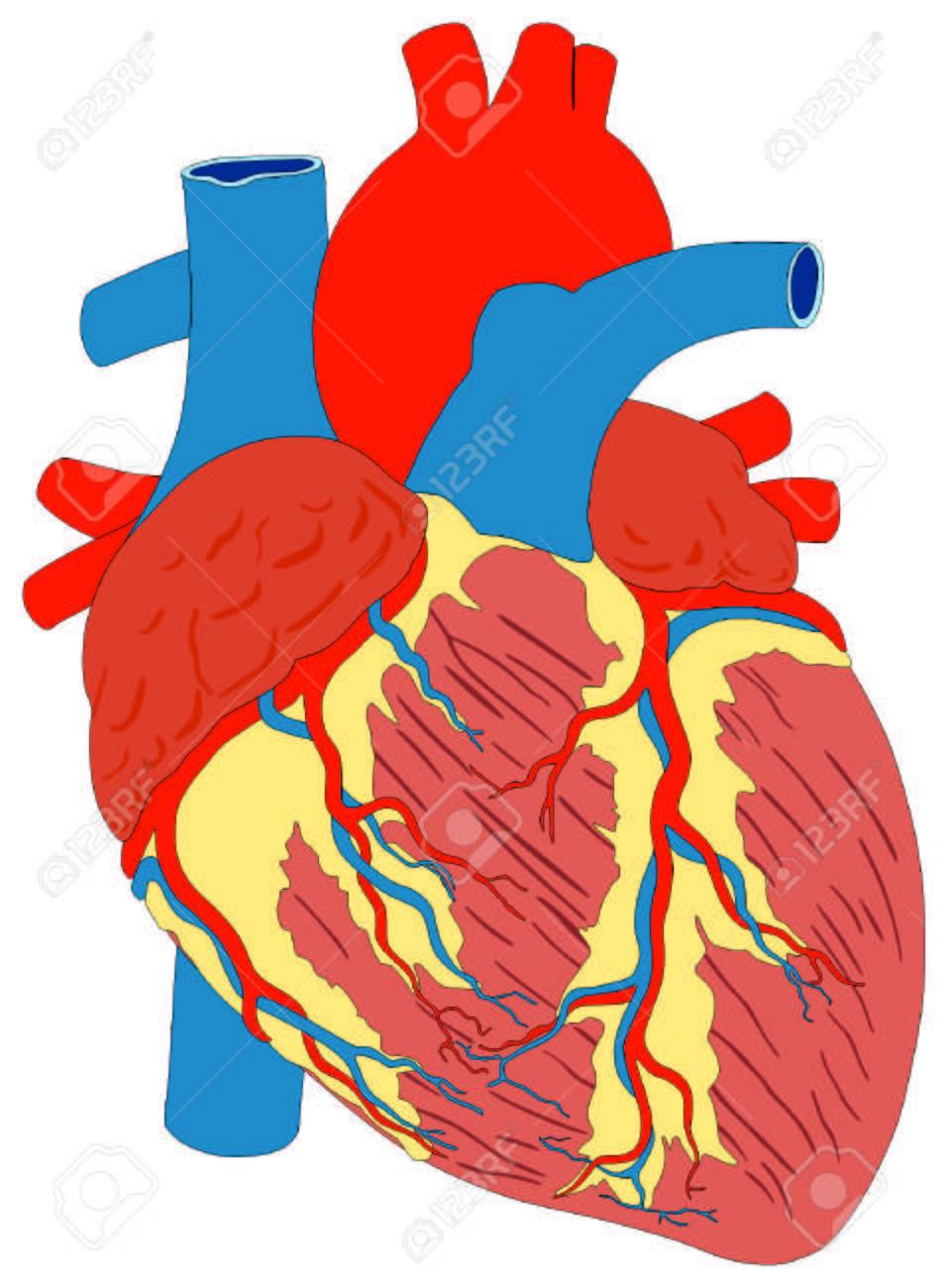 Músculo Del Corazón Humano Anatomía Bruto Diagrama Vectorial Vista ...