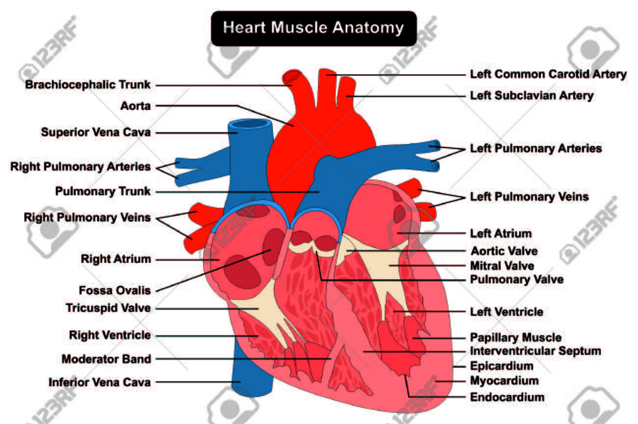 Corazón Humano Estructura Del Músculo Anatomía Diagrama Gráfico ...