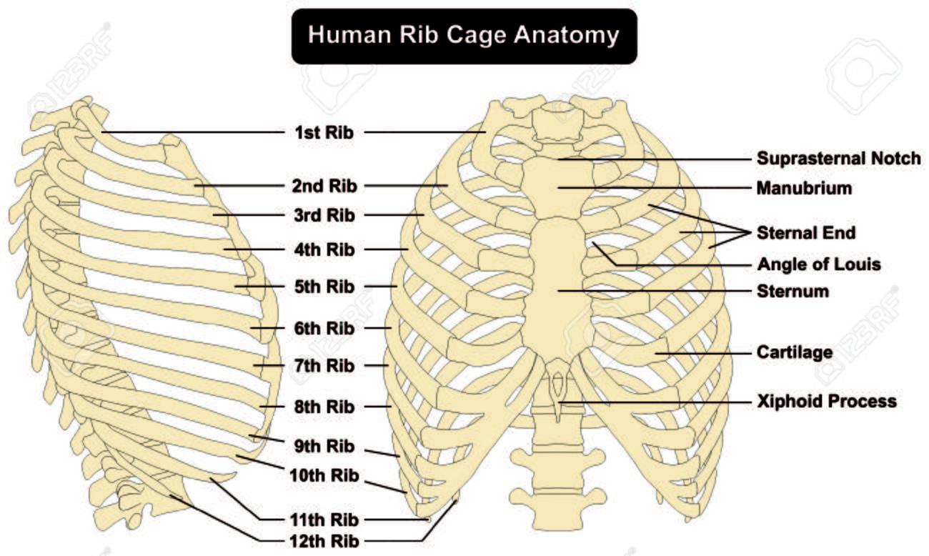 Anatomía De La Caja Torácica Humana Anterior Y Vista Lateral Derecha ...