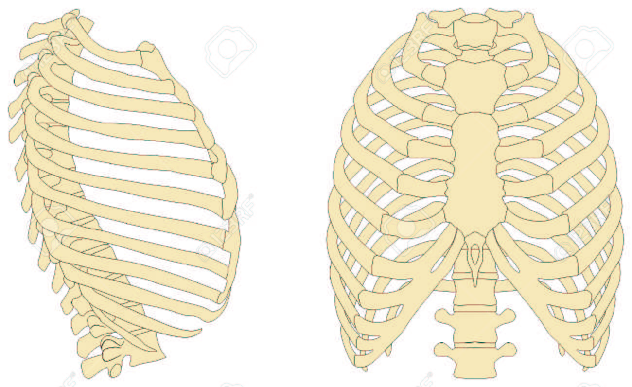 Human Rib Cage Anatomy Anterior And Right Lateral View All Bones ...